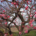 大阪城公園の梅林に咲き始めた紅梅です。今年は開花が遅れているようです。 ・まだ風のとんがってゐる梅二月(和良)