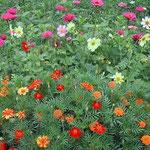 ルーマニアの地方都市で見た色鮮やかな花壇です。 ・花やしき花おのおのの日差しかな(和良)