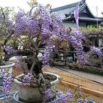 大鉢の藤が咲いた寺の門前では鉢植えの藤を売っていました。      ・門前に鉢植を売り藤まつり(和良)