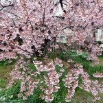 蜂須賀桜の母樹は原田家の庭中に花びらを散りばめていました。     ・焼夷弾落ちし跡にも桜散る(和良)