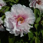 神宮寺の朝一番の白牡丹は清々しい香りがしました。  ・ぼうたんの朝の香りの清々し(和良)