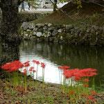 彦根城の周囲には曼珠沙華が咲き競っていました。           ・曼珠沙華井伊直弼の城に咲く(和良)