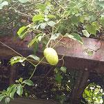 徳島城公園の薔薇園の隣の棚に郁子の実が垂れていました。  ・台風の来さうな空に郁子垂るる(和良)