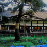 明治記念館では松手入の最中でした。工事現場のようでした。        ・大工事並みの構えや松手入(和良)