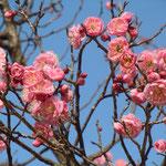 文化の森の紅梅は甘い香りを漂わせていました。                                     ・紅梅の一花一花に虻の来て(和良)