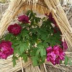 戦後の俳句界をリードしてきた金子兜太さんが98歳で逝去されました。  ・寒牡丹散り初め金子兜太逝く(和良)