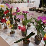 展示会場の一角には小さな鉢植蘭の即売会も開かれていました。 ・室に咲くデンファレ蘭の可憐さよ(和良)