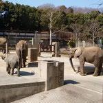 象の家族も暖かい春の日差を浴びてのんびりとしていました。        ・長閑かな象の家族もゆったりと(和良)