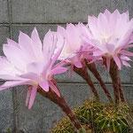藍住町の自宅の仙人掌の花は一日ですぼんでしまいました。 ・仙人掌の一日限りの花なりし(和良)