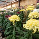 吉野川市鴨島町の菊花展では綺麗に丈が揃えられていました。  ・助もして丈揃へあり菊花展(和良)