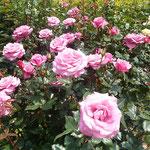 徳島城公園の薔薇園には甘い香りが漂っていました。            ・色を褒め香りを愛でて薔薇巡る(和良)