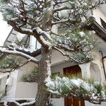 松手入の終ったばかりの我が家の玄関の松にも雪が積もりました。         ・雪乗せて松の緑の引き締まる(和良)