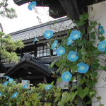 高山市で高校の同窓会がありました。古い町並みが美しかったです。  ・外つ国の朝顔花を咲かす路地 (和良)