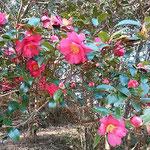石井町の旧農業大学跡地の裏の椿園には山茶花が咲いていました。    ・色のなき山に山茶花咲き満てる(和良)