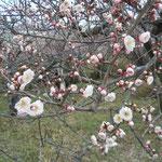 梅の下に佇んでいますと香りが届いてきました。                                     ・梅の香の不意に届きてすぐ消ゆる(和良)
