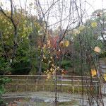 高松市の屋島にあるうどんの老舗「わら家」の庭の枯葉です。      ・日当たれば枯葉に色の蘇る(和良)
