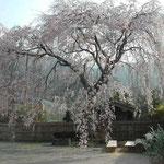 徳島県神山町は枝垂桜の多いところでした。ほとんどがもう満開でした。  ・縺るると見えて縺れぬ糸桜 (和良)