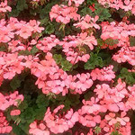藍住町の美容院の店先に真っ赤な葵の花が咲いていました。 ・店先の葵の花の真っ赤かな(和良)