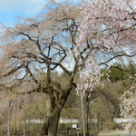 埼玉県秩父市の清雲寺のしだれ桜は樹齢600年と伝えられています。   。六百年しだれ咲き継ぐ大桜(和良)