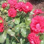 藍住町の薔薇園でカルメンという薔薇を見ました。           ・深紅なる薔薇は一目でカルメンと(和良)