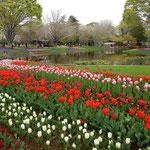 国営昭和記念公園のチューリップ園は水際像にまで広がっていました。  ・川面にも色を映してチューリップ(和良)
