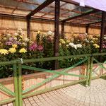 吉野川市鴨島町の菊花展では菊が整然と並び香りを放っていました。 ・我独りゐて菊の香を存分に(和良)