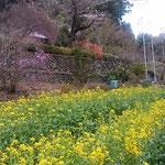 あきる野市の山間部で見たのどかな風景です。               ・山寺へ菜の花明かりの道を行く(和良)