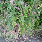 鈴廣蒲鉾店のお蕎麦屋さんの庭で見たこぼれ萩です。            ・こぼれたる萩にこぼれてこぼれ萩(和良)