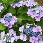 岡崎城は街の真ん中にあり、周辺に紫陽花が群れ咲いていました。    ・岡崎の城紫陽花の群れ咲きて(和良)