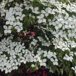 徳島市の文化の森で見た山法師です。見事な白でした。 ・山法師重なる白の白さかな (和良)