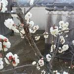 板野町の五番札所で探梅しました。奥院への参道に梅が咲いていました。 ・白梅に始まる道を釈迦堂へ(和良)