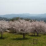 とくしま植物園の市民の森では桜を見ながら寝そべることもできました。 ・仰向けに寝て春風の中にゐる(和良)