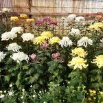 吉野川市鴨島町の菊花展を見に行った日は市長選挙の投票日でした。 ・市長けふ決まる市役所菊花展(和良)