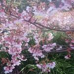 蜂須賀桜は寒緋桜と山桜の交配種で俯いて咲くのが特徴です。      ・俯きて咲ける蜂須賀桜かな(和良)