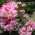 石井町の童学寺の庭園では石楠花の老樹が爛漫の花を咲かせていました。・石楠花の紅一点といふ老樹(和良)