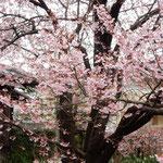 目白のたくさん来ている蜂須賀桜は甘い香りがしました。  ・目白来て甘き香りのする桜(和良)