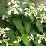 我が家の庭の額の花も待ち遠しかった雨に喜んでいるようでした。       ・雨の日の白の眩しき額の花(和良)