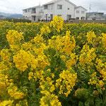 藍住町の自宅周辺の畑に菜の花が咲き競っていました。  ・菜の花の明るき新興住宅地(和良)