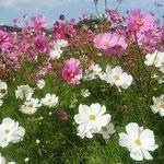 鳴門ウチノ海総合公園では5万本の中で白いコスモスが印象に残りました。 ・乱れ咲き白の際立つ秋桜(和良)