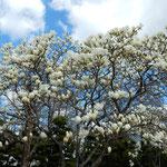 徳島市中央公園では白木蓮が枝一杯に咲き競っていました。       ・青空へ白木蓮のくっきりと(和良)