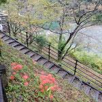 「四国まんなか千年ものがたり」の観光列車で大歩危駅に下車しました。 ・大歩危の崖を降りれば曼殊沙華(和良)