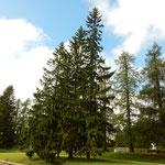 レバノン杉は並木となって高々と秋空にそびえていました。       ・レバノン杉仰ぎ秋の空仰ぐ(和良)