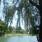 吉野川市の鴨島公園では大きな夏柳が茂っていました。         ・夏柳水面の影も黒々と(和良)