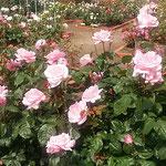 藍住町の薔薇園でアメジストという薔薇を見ました。          ・アメジストなるはピンクの美しき薔薇(和良)