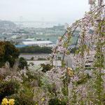 「花見山 心の手紙館」からは大鳴門橋が一望できました。               ・糸桜越しに鳴門の海見えて(和良)