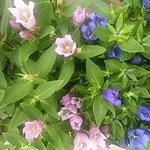 川越市の蔵造りの町の老舗の店先に竜胆の鉢植を見つけました。     ・蔵の町竜胆の咲く老舗かな(和良)
