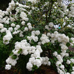 牡丹が終わった神宮寺では庫裏裏への道に小手鞠が咲いていました。   ・庫裏裏へ小手鞠の花咲ける道(和良)