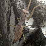 文化の森の裏庭で見た蟷螂の緑の眼が美しかったです。  ・蟷螂は枯れていません緑の眼(和良)