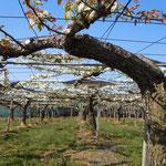 年輪を刻む梨の古木も真っ白な花をつけていました。                                  ・古木より咲きて真白や梨の花(和良)