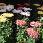 牧野植物園には皇室の紋章になった菊も展示されていました。                            ・此れやこの菊の御紋の菊に会へ(和良)